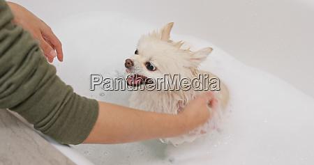 pomeranian dog take bath and get