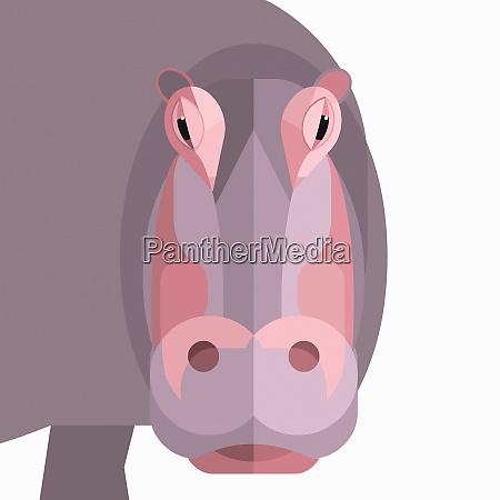 close up of hippopotamus looking at