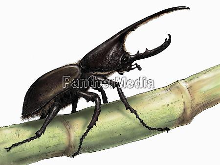 illustration of rhinoceros beetle