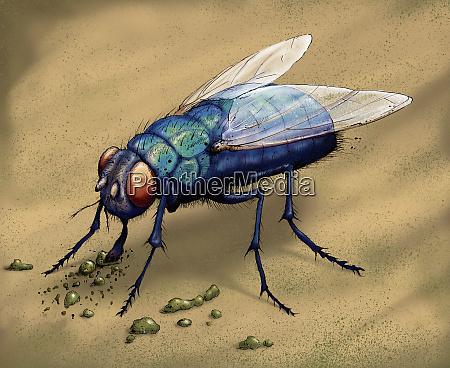 illustration of bluebottle fly eating