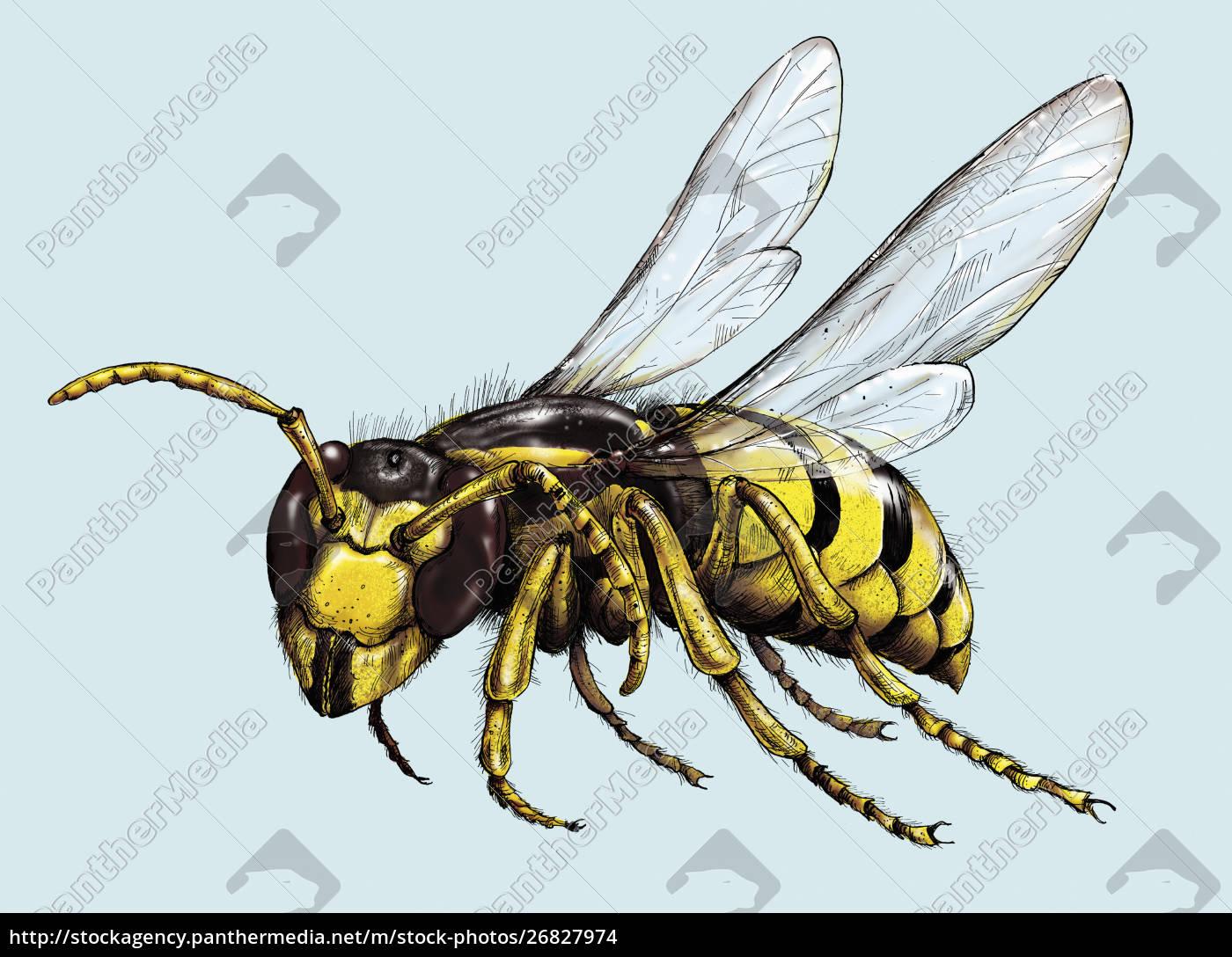 illustration, of, wasp, in, flight - 26827974