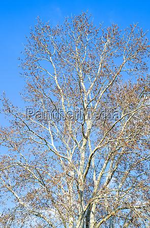 blooming silver poplar silver poplar tree