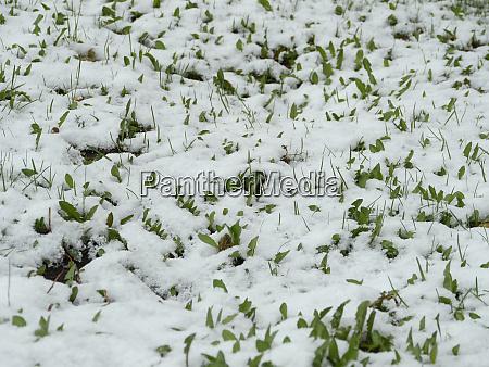 spring snow fell on green