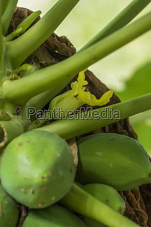 cocoa pod saint lucia in