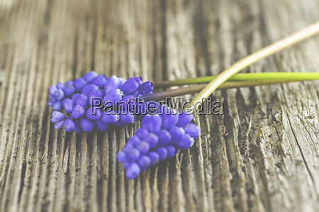 violet grape hyacinths on a rustic