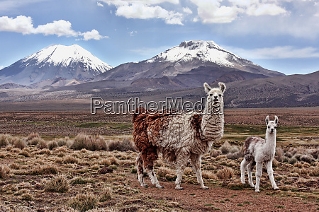 a bably llama and mother on