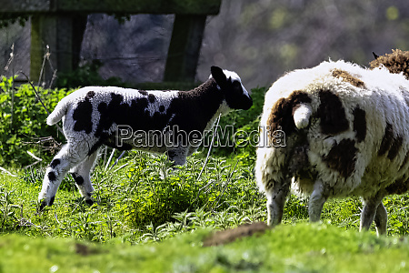 baby domestic sheep ovis aries in