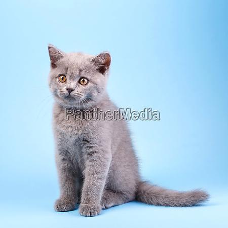 scottish straight kitten gray kitty with