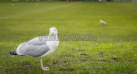 gulls wandering on the lawn of