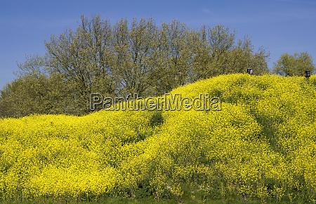 rapeseed grown hill