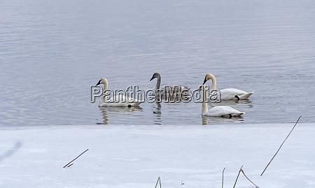 trumpeter swans in open water in