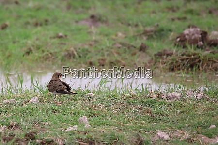 collared pratincole at a water hole
