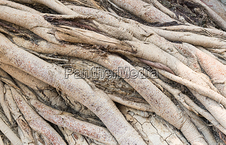 crosswise old tree roots background
