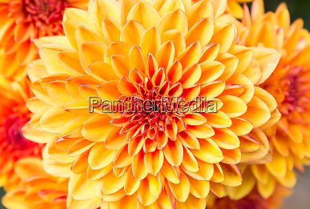 light orange yellow mum flowers in