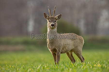 roe deer capreolus capreolus buck on