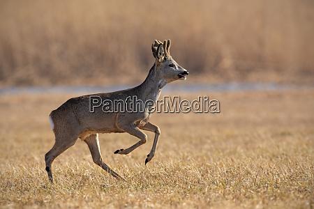 running roe deer capreolus capreolus in