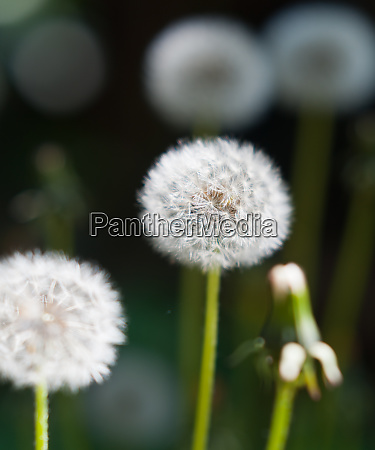 picture of a taraxacum and blurry