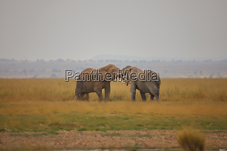 duel of two elephants