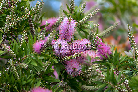 pink flowers of echium nervosum a
