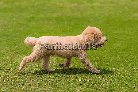 dog poodle run in the park