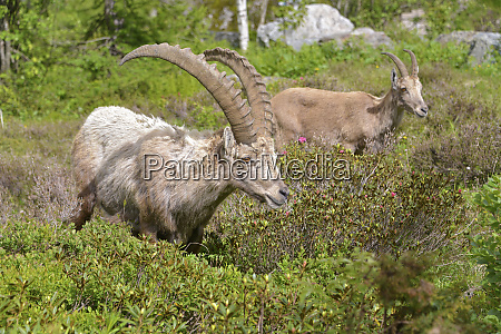 alpine ibex in mountains