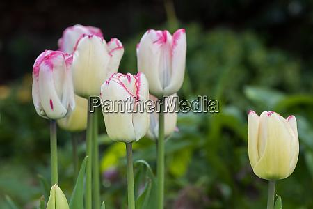 arrangement of white tulips