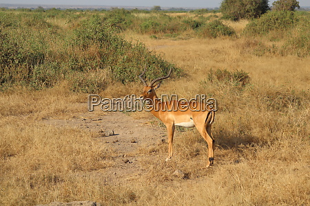impala in the savannah of amboseli