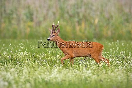 roe deer buck with dark antlers