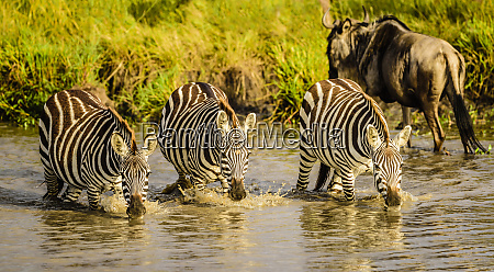 zebras drinking at water hole