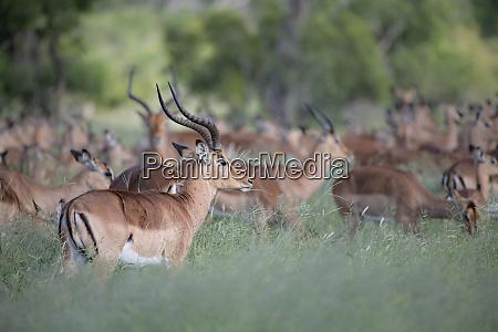 a herd of impala aepyceros melampus