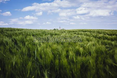 idyllic rural green wheat crop and