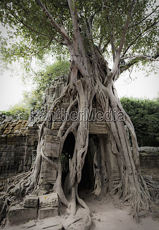 tree roots growing over temple angkor