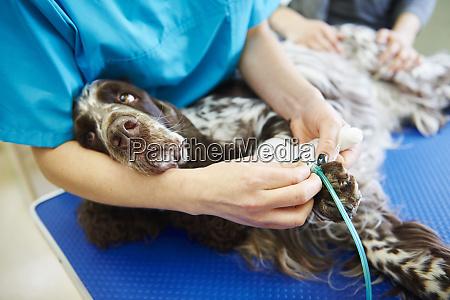 injured dog receiving bandage in veterinary