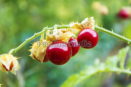 sticky nightshade tomatoes