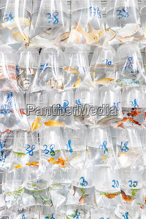 china hongkong goldfish market goldfish in