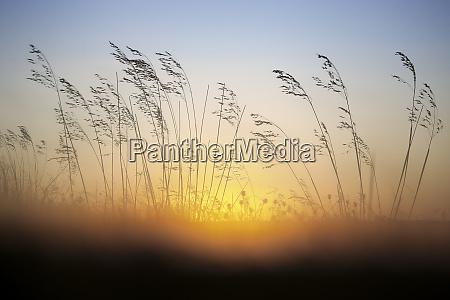 reed at sunrise