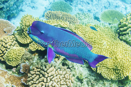australia queensland great barrier reef parrot