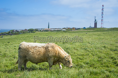 germany helgoland island galloway cattle grazing