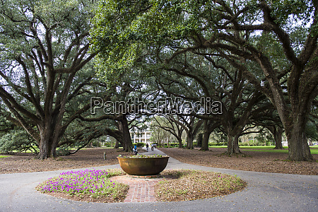 usa louisiana oak trees alley and