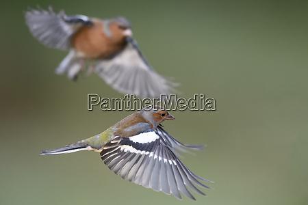 flying chaffinchs