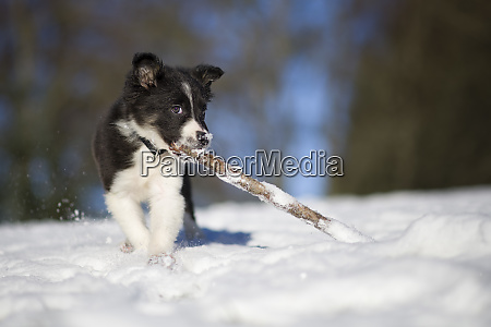 border collie puppy playing with wood