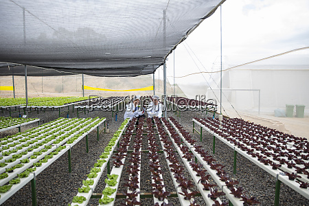 greenhouse workers inspecting plants