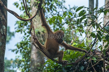 indonesia sumatra bukit lawang orang utan