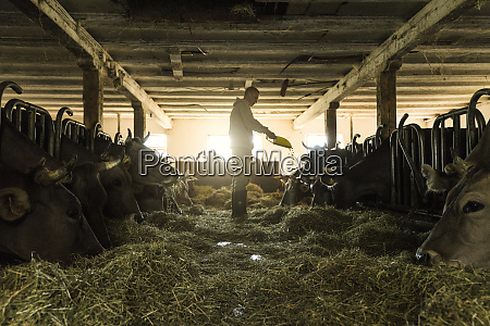 farmer feeding his cows in traditional