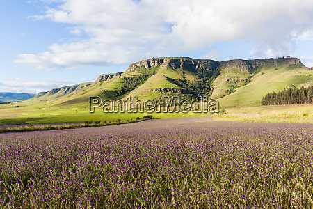 lavender fields farming mountains summer