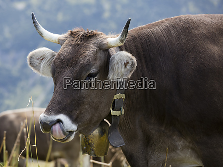 germany allgaeu brown cattle bull with