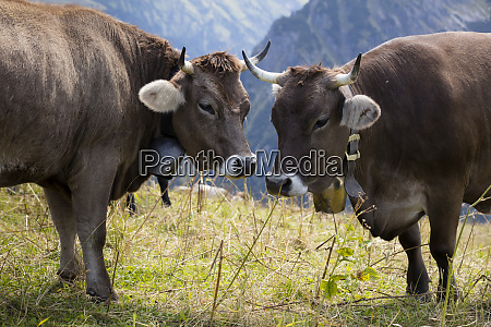 germany allgaeu brown cattle bulls with