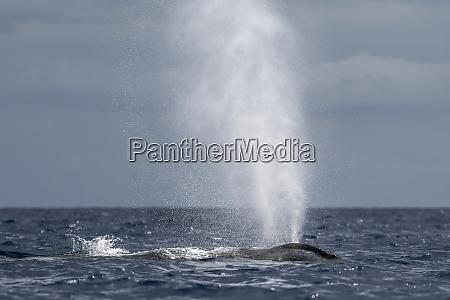 humpback whale megaptera novaeangliae blowing or
