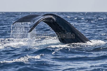 humpback whale megaptera novaeangliae fluke lahaina