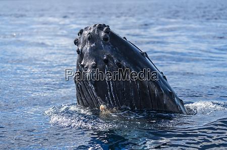 humpback whale megaptera novaeangliae spyhopping lahaina